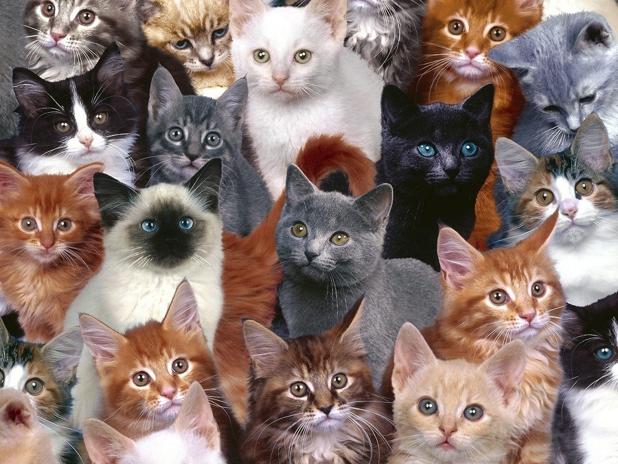 Number of Cats you own